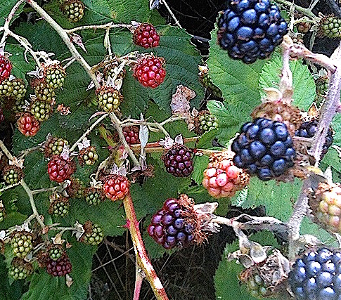 Blackberries   urbnspice.com
