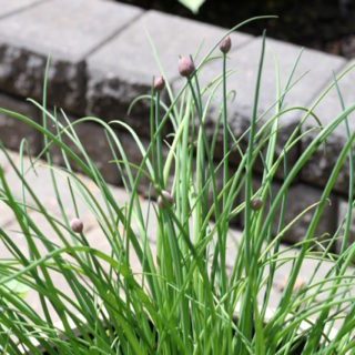 Chives in the Spring | urbnspice.com